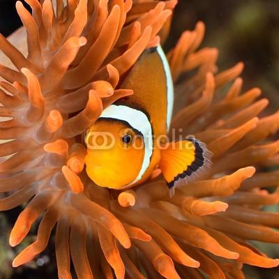 Aleksey Stemmer, clownfish in marine aquarium (Wunschgröße, Fotografie, Photografie, Natur, Nahaufnahme, Aquarium, Salzwasser, Korallen, Seeanemonen, Tentakeln, Clownfisch, Nemo, Wellness, Bad, Arztpraxis, bunt)