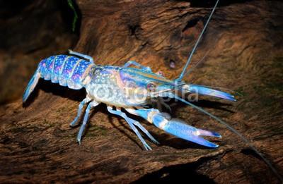 Aleksey Stemmer, colourful australian blue crayfish - cherax quadricarinatus (Wunschgröße, Fotografie, Photografie, Natur, Nahaufnahme, Krebstier, Flusskrebs, Arztpraxis, Bad, blau / braun)