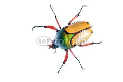 Aleksey Stemmer, large scarab beetle Eudicella smithii (käfer, insekt, natur, makro, weiß, grün, isoliert, leaf, tier, klein, verfärbt, close-up, pests, schwarz, dekorativ, pflanze, schönheit, garten, formal, wildlife, bett, marienkäfer, blume, horizontale, nacht, orange, glänzend, hintergrund, kultu)