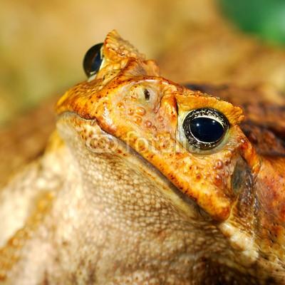 Aleksey Stemmer, large tropical toad close-up (unke, amphibie, tier, braun, hässlich, warzen, american, natur, warzen, grün, zentrale, makro, fauna, stock, hübsch, close-up, pests, eins, gemeiner, wildlife, uneben, weiß, sitzend, schuß, studio, close-up, portrait, regenwald, schließen, wirbeltier)