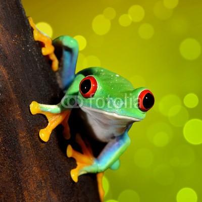 Aleksey Stemmer, red-eye frog  Agalychnis callidryas in terrarium (frosch, grün, amphibie, rot, natur, tier, baum, gerötete augen, tropisch, verfärbt, regenwald, wald, regen, pflanze, bunt, wild, wildlife, leaf, costa, hübsch, klima, frosch, tier, süden, art, hell, eyed, sumpf, schöner, tropics, niemand, naturschut)