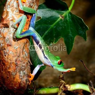 Aleksey Stemmer, red-eye tree frog  Agalychnis callidryas in terrarium (frosch, grün, amphibie, rot, natur, tier, baum, gerötete augen, tropisch, verfärbt, regenwald, wald, regen, pflanze, bunt, wild, wildlife, leaf, costa, hübsch, klima, frosch, tier, süden, art, hell, eyed, sumpf, schöner, tropics, niemand, naturschut)