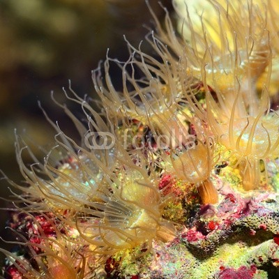 Aleksey Stemmer, Sea anemones  in marine aquarium (Wunschgröße, Fotografie, Photografie, Natur, Nahaufnahme, Aquarium, Salzwasser, Korallen, Seeanemonen, Tentakeln, Wellness, Bad, bunt)