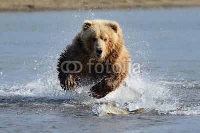 andreanita, Grizzly Bear jumping at fish (grizzly, grizzly bär, bär, bär, braunbär, fleischfresser, essen, abend, fauna, fisch, fischfang, säugetier, säugetier, wildlife, tier, tier, wild, wildnis, natur, ökologie, ökotourismus, nord, räuber, räuber, fleischfresser, omnivore, braunbä)