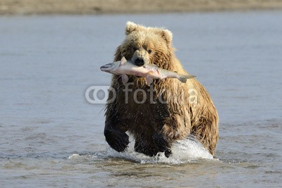 andreanita, Grizzly Bear with caught salmon (grizzly, grizzly bär, bär, bär, braunbär, fleischfresser, essen, abend, fauna, fisch, fischfang, lachs, säugetier, säugetier, wildlife, tier, tier, wild, wildnis, natur, ökologie, ökotourismus, nord, räuber, räuber, fleischfresser, omnivor)