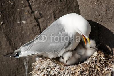 andreanita, Kittiwake with two chicks on a nest at the cliff. (vögel, gull, sea bird, tier, wildlife, fauna, natur, aviär, vogelkunde, federn, wild, wildnis, ozean, oceanic, meer, wasser, wasser, wasser, verfärbt, verfärbt, bunt, bunt, europa, skandinavien, fels, essen und trinken, ernährung, erwachsen, küke)
