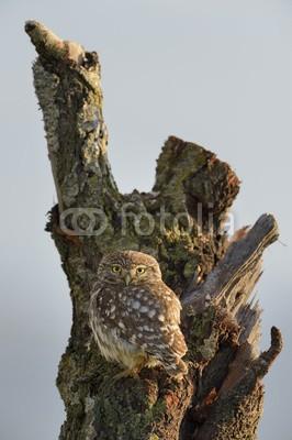 andreanita, Little owl on a old tree. (eulen, raubvögel, räuber, vögel, vorderansicht, wildlife, fauna, natur, aviär, vogelkunde, federn, wild, wildnis, verfärbt, bunt, baum, himmel, auge, stehendes, hübsch, klein, little, süss, einträchtig, natürlic)