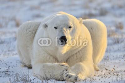 andreanita, Polar bear lying at tundra. (eisbär, arktis, räuber, churchill, säugetier, meeressäuger, fleischfresser, eis, eisig, kalt, schnee, lying, tundra, gras, schauend, natur, wildlife, weiß, abenteuer, bär, blau, ausbildung, umwelt, entdeckungsreise, gefriertruhe, gefroren, globa)