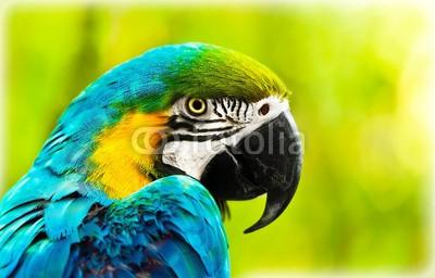 Anna Omelchenko, Exotic colorful African macaw parrot (afrikanisch, tier, altar, vögel, blau, bunt, papagei, portrait, safarie, tropisch, wildlife, afrika, aviär, hintergrund, schnabel, schöner, groß, vogelbeobachtung, hell, close-up, close-up, verfärbt, farb, bunt, eden, exotisch, auge, gesicht, faun)