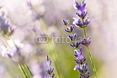 Beboy, Lavande fleur - lavender flower (lavendel, provence, frankreich, feld, kultur, lavendel, blume, staat, flora, pflanze, fragrance, essenz, feld, blume, aroma therapy, aroma, simple, key, isoliert, close-up, parfuem, lila, rose, fuchshengst, blau, lila, veilchen, pflanze, blumenstraus)