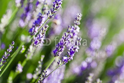 Beboy, Lavande fleur - lavender flower (lavendel, provence, frankreich, feld, kultur, lavendel, blume, staat, flora, pflanze, fragrance, essenz, feld, blume, aroma therapy, aroma, simple, key, isoliert, close-up, parfuem, lila, rose, fuchshengst, blau, lila, veilchen, pflanze, blumenstraus)