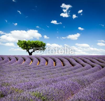 Beboy, Lavande Provence France / lavender field in Provence, France (lavendel, provence, frankreich, feld, kultur, lavendel, blume, baum, staat, flora, pflanze, fragrance, essenz, hügel, feld, blume, ernten, picturesque, lila, rose, fuchshengst, blau, lila, veilchen, landschaft, pflanze, blumenstrauss, gepfleg)