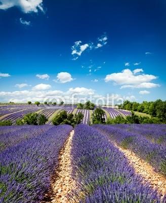Beboy, Lavande Provence France / lavender field in Provence, France (lavendel, provence, frankreich, feld, kultur, lavendel, blume, baum, staat, flora, pflanze, fragrance, essenz, hügel, feld, blume, picturesque, lila, rose, fuchshengst, blau, lila, veilchen, landschaft, pflanze, blumenstrauss, gepflegt, landwirtschaf)