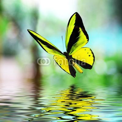 BEMPhoto, Butterfly 15 (Wunschgröße, Fotografie, Photografie, Nahaufnahme, Insekt, Schmetterling, Natur, Eleganz, Leichtigkeit, Wasser, Spiegelung, Wellness, Bad, gelb)