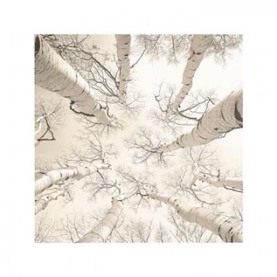 Adam Brock, Silver Birch (Bäume, Birken, Perspektie, Untersicht, Fotokunst, Botanik,  Treppenhaus, Wohnzimmer, Arztpraxis, schwarz/weiß)