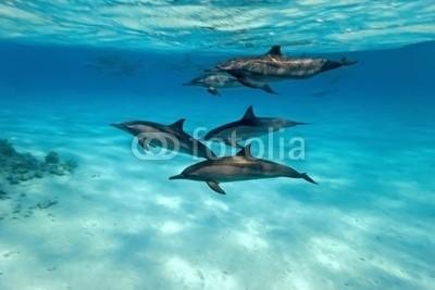 crisod, Dolphins in the sea (Wunschgröße, Fotografie, Photografie, Unterwasserfotografie, Natur, Meeresbrise, Ozean, Meer, Delphine, Wellness, Arztpraxis, bunt)