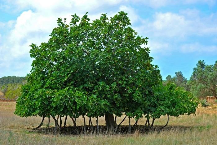 Hady Khandani, FIG TREE - FORMENTERA - SPAIN 1 (HADYPHOTO, Fotografie)