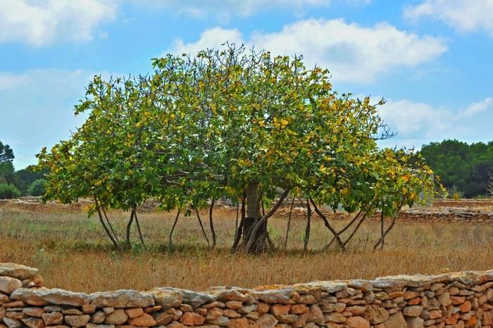 Hady Khandani, FIG TREE - FORMENTERA - SPAIN 2 (HADYPHOTO, Fotografie)