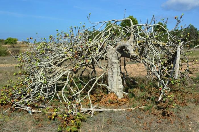 Hady Khandani, THE OLD FIG TREE - FORMENTERA - SPAIN (HADYPHOTO, Fotografie)