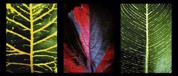 Roberto Scaroni, Three Leaves (Photokunst, Wunschgröße, Blätter, Blattadern, floral, Nahaufnahme, Pflanzen, Botanik, Treppenhaus, Wohnzimmer, bunt)