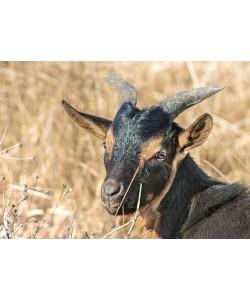 Ronny Behrendt, Ziege auf der Weide