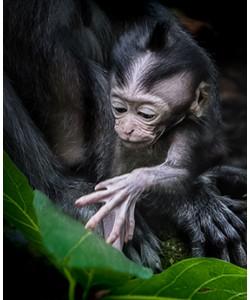 Ronny Behrendt, Affenbaby