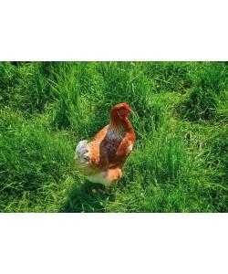 Irk Boockhoff, Glückliches Huhn