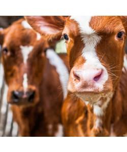 Sander Van Laar, Spring cows 1