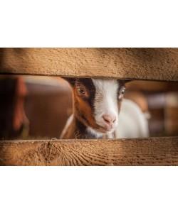 Sander Van Laar, Spring Lamb