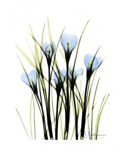 Albert Koetsier, CROCUS BLUE