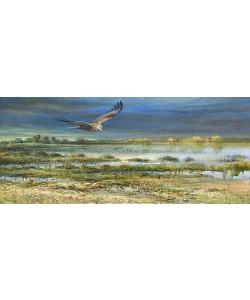 Erik van Ommen, Western Marsh Harrier