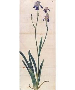 Albrecht Dürer, Blau blühende Schwertlilie - Iris Germanica (Iris Trojana?). Um 1503