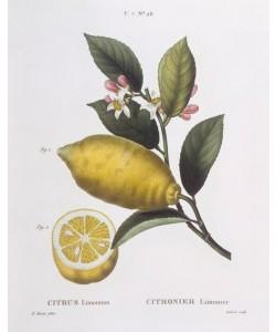 Pancrace Bessa, Botany – Rutaceae – Lemon