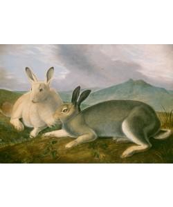 John James Audubon, Arctic Hare, ca 1841
