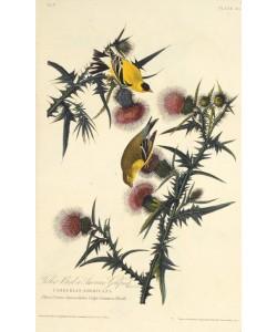 John James Audubon, The American goldfinch