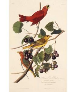 John James Audubon, The Summer Red Bird