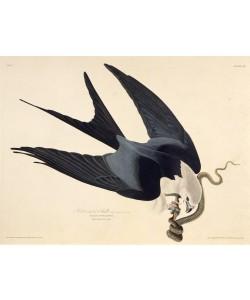 John James Audubon, The swallow-tailed kite