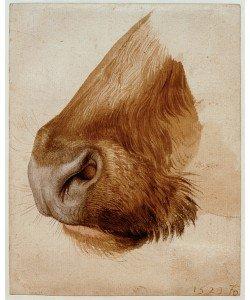 Albrecht Dürer, Maul eines Rindes von der Seite
