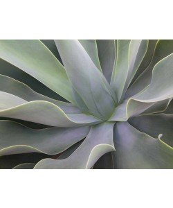 Eddi Böhnke, Detail Aloe Vera