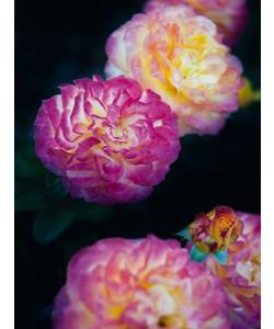Janet Hesse, Rose