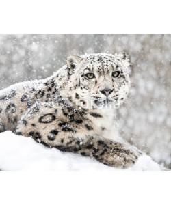 Abeselom Zerit, Snow Leopard In Snow Storm III