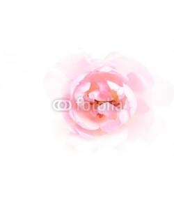 Anette Linnea Rasmus, pink rose