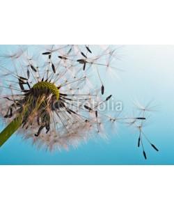 doris oberfrank-list, Dandelion: We fly away to fulfill wishes