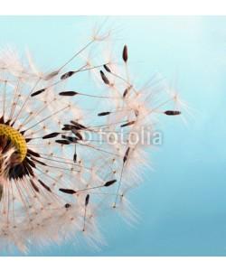 doris oberfrank-list, Abflug: Flugschirme der Pusteblume beim Start