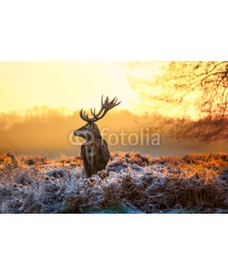 arturas kerdokas, Red deer in morning sun