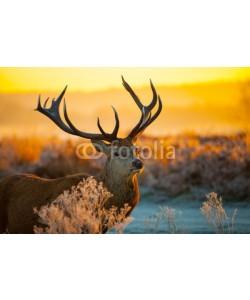 arturas kerdokas, Red deer in morning sun