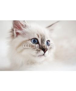 Alena Ozerova, Siberian kitten