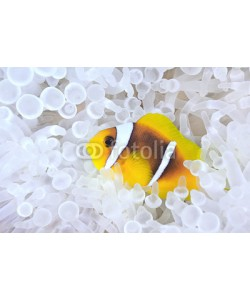uwimages, Anemonefish in bleached host sea anemone