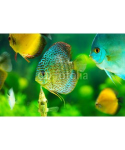 Nitr, tropical fishes