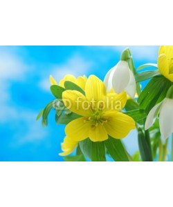 Anette Linnea Rasmus, Group of winter snowdrop and a couple of winter aconite